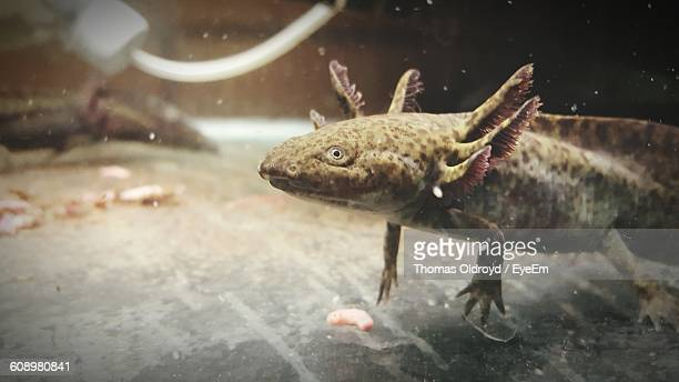 Axolotl Swimming In Aquarium