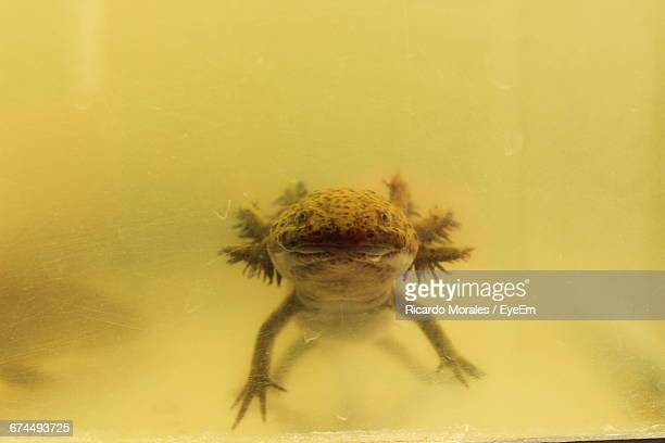 Axolotl Swimming In Tank