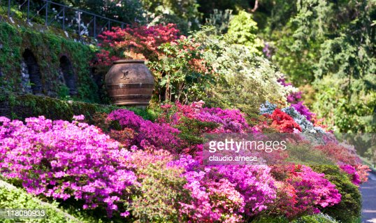 Azalea and Rhododendron in a Formal Garden. Color Image