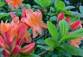 Deciduous Azalea. Gentle orange color, single blooms with lush, and with nice green leaves. Spectacular large orange yellow flowers on a compact plant.