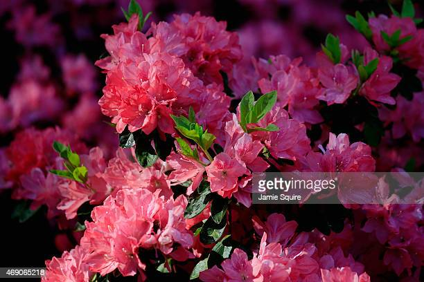 Azaleas are seen during the first round of the 2015 Masters Tournament at Augusta National Golf Club on April 9 2015 in Augusta Georgia