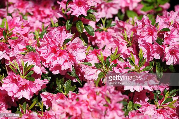 Azaleas are seen in bloom during a practice round prior to the 2011 Masters Tournament at Augusta National Golf Club on April 5 2011 in Augusta...