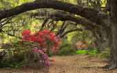 Every spring brings thousands of blooming Azaleas to Charleston, South Carolina and the Lowcountry. Magnolia Plantation is a spectacle, all on its own, with its many glorious gardens and southern char