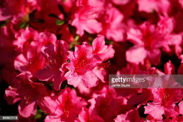 Azaleas in bloom are seen during a practice round prior to the 2009 Masters Tournament at Augusta National Golf Club on April 8 2009 in Augusta...