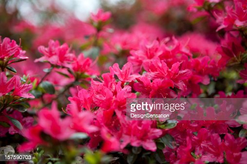 Azaleas in Bloom XXXL