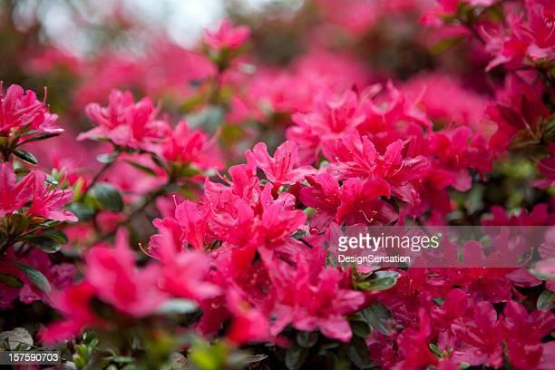 Floración de Azaleas XXXL