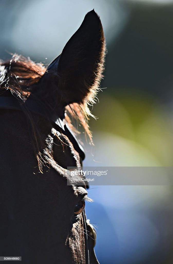 Azkadellia is seen in the parade ring after finishing runner up in Race 9 during Melbourne Racing at Caulfield Racecourse on February 13, 2016 in Melbourne, Australia.
