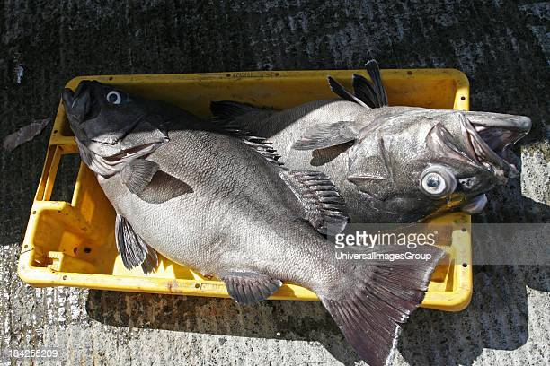 Azores San Miguel Island fishing port Mosterios fish Black Sea Bass