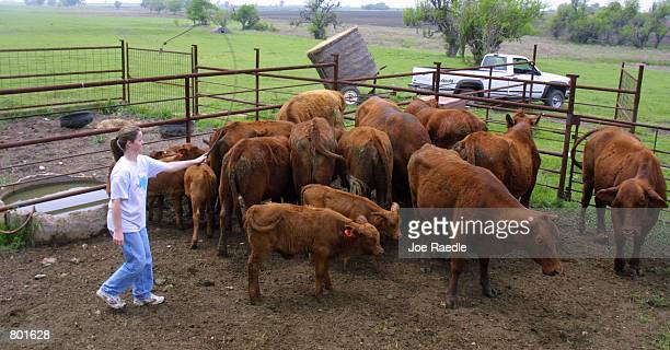 Azure Mach selects cattle for deworming April 13 2001 in Crawford Texas Crawford the hometown of US President George W Bush has a population of 631...