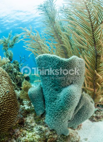 Azure Vase Sponge Callyspongia Plicifera Stock Photo Thinkstock