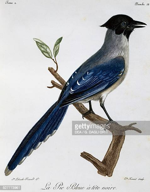 Azurewinged Magpie engraving from the Histoire Naturelle des Oiseaux d'Afrique 17991802 by Francois Le Vaillant after drawing by Reinhold Lebrecht...