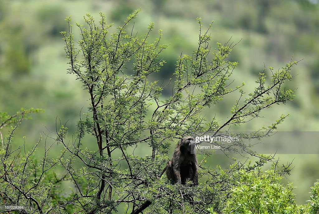 A baboon calls from a tree during the second round of the Nedbank Golf Challenge at the Gary Player Country Club on November 30, 2012 in Sun City, South Africa.