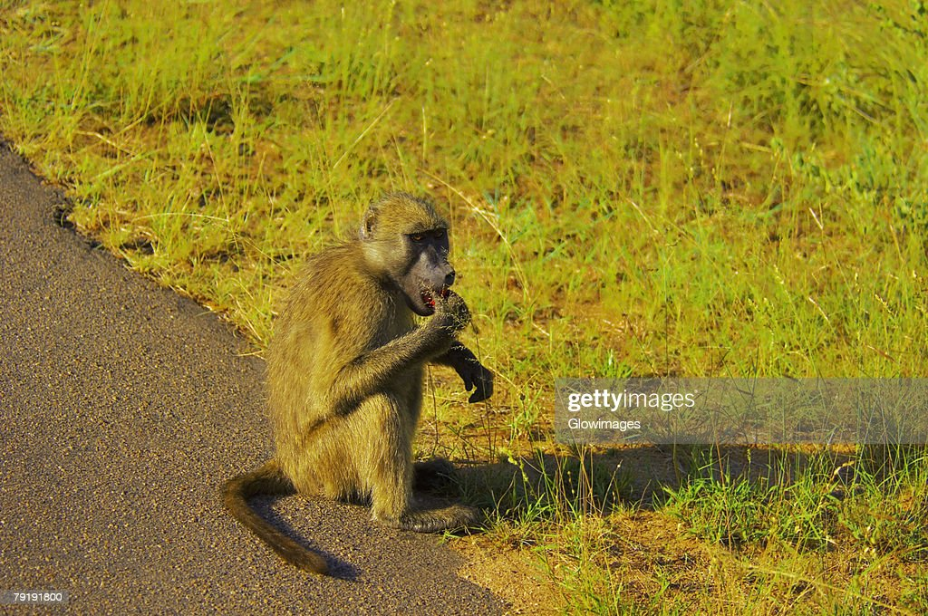 Baboon eating at the roadside, Kruger National Park, Mpumalanga Province, South Africa : Stock Photo