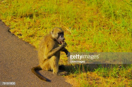 Baboon eating at the roadside, Kruger National Park, Mpumalanga Province, South Africa : Foto de stock