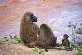 Baboon Family Sitting by the Shore, Rear View, Differential Focus