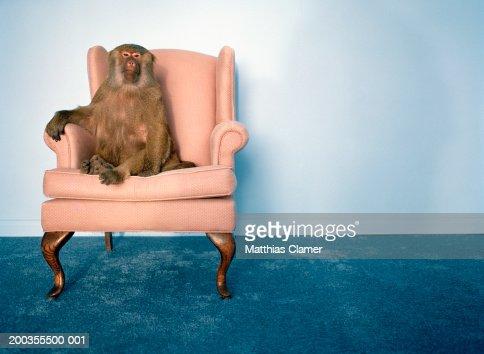 Baboon in armchair