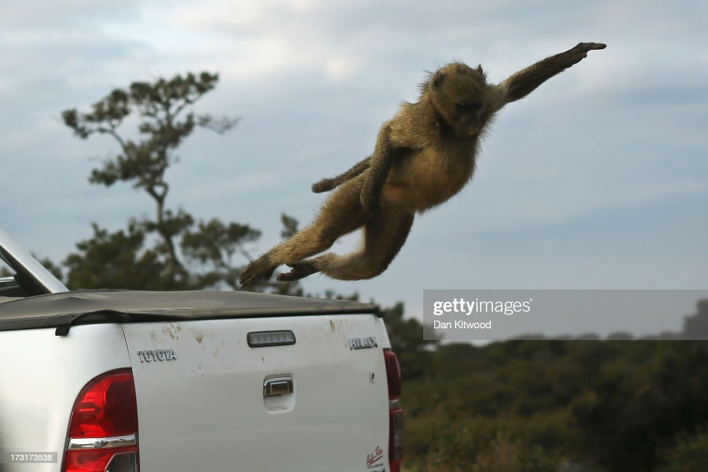 A Baboon jumps from the back of a visitor's truck in Kruger National Park on July 8, 2013 in Lower Sabie, South Africa. The Kruger National Park was established in 1898, and is South Africa's premier wildlife park, spanning an area of approximately 2 million hectares. (Photo by Dan Kitwood/Getty Images