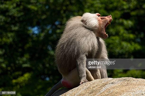 Baboon Male sitting on rock calling Hellabrunn Zoo Munich Upper Bavaria Germany Europe