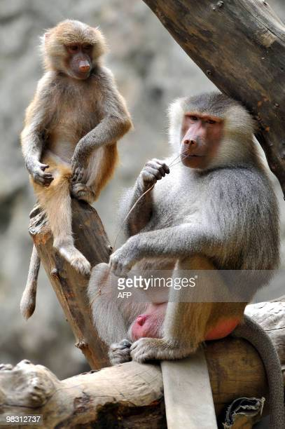 A Baboon monkey born in captivity last year sits near its father at the zoo in Cali Valle del Cauca Colombia on April 7 2010 AFP PHOTO/Luis ROBAYO