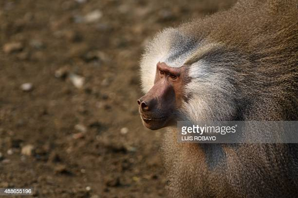 A baboon monkey is seen at the zoo in Cali Colombia on September 16 2015 Cali's zoo gives icecream to animals to counteract the high temperatures in...