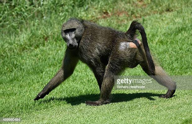 Baboon on the 7th hole during the second round of the Nedbank Golf Challenge at the Gary Player Country Club on December 5 2014 in Sun City South...