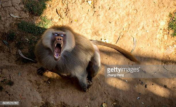 A baboon open his mouth shouting trying to demonstrating against the visitor who has teased him