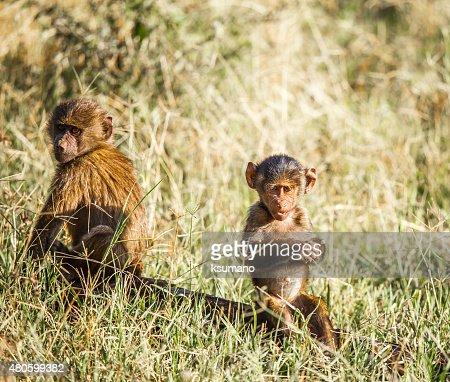 Baboon : Stock Photo