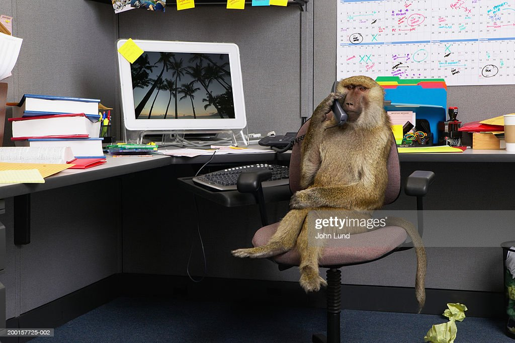 Baboon sitting at office desk, holding telephone receiver