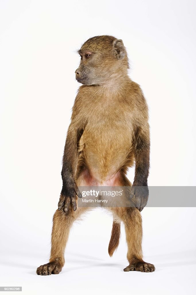 Baboon standing on hind legs : Stock Photo