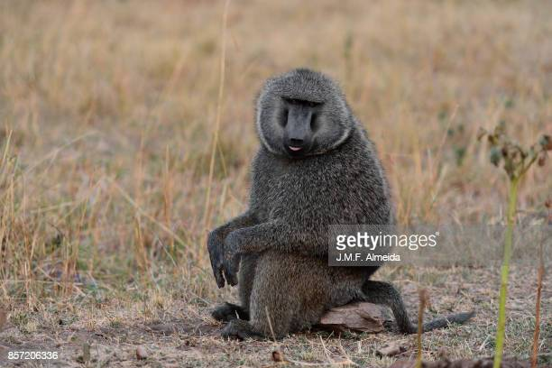 Baboon sticking out tongue