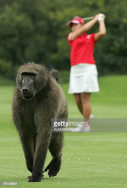 A baboon takes a walk while Japan's Miki Saiki plays a shot on the fist fairway hole on the third and last day of the Women's World Cup of Golf 20...