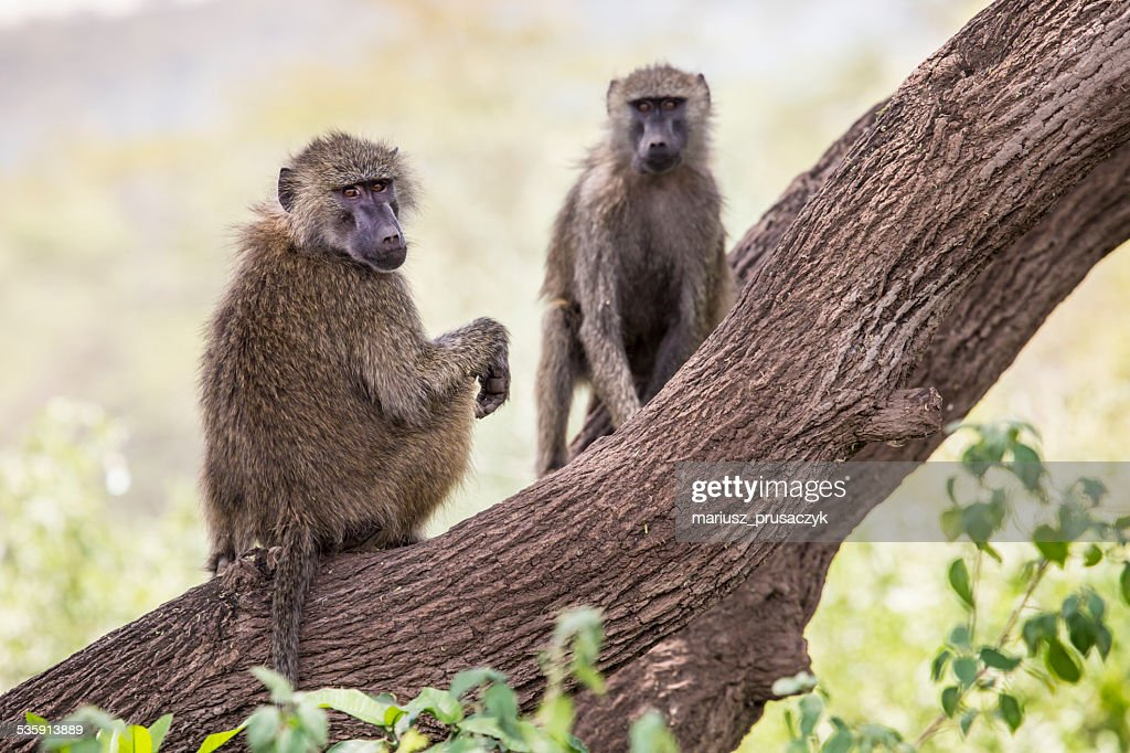 Babuíno-Parque nacional de Tarangire-Reserva animal na Tanzânia, : Foto de stock