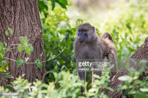Baboon - Tarangire National Park - Wildlife Reserve in Tanzania, : Stock Photo