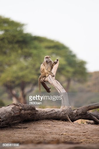 Baboon tree : Stock Photo