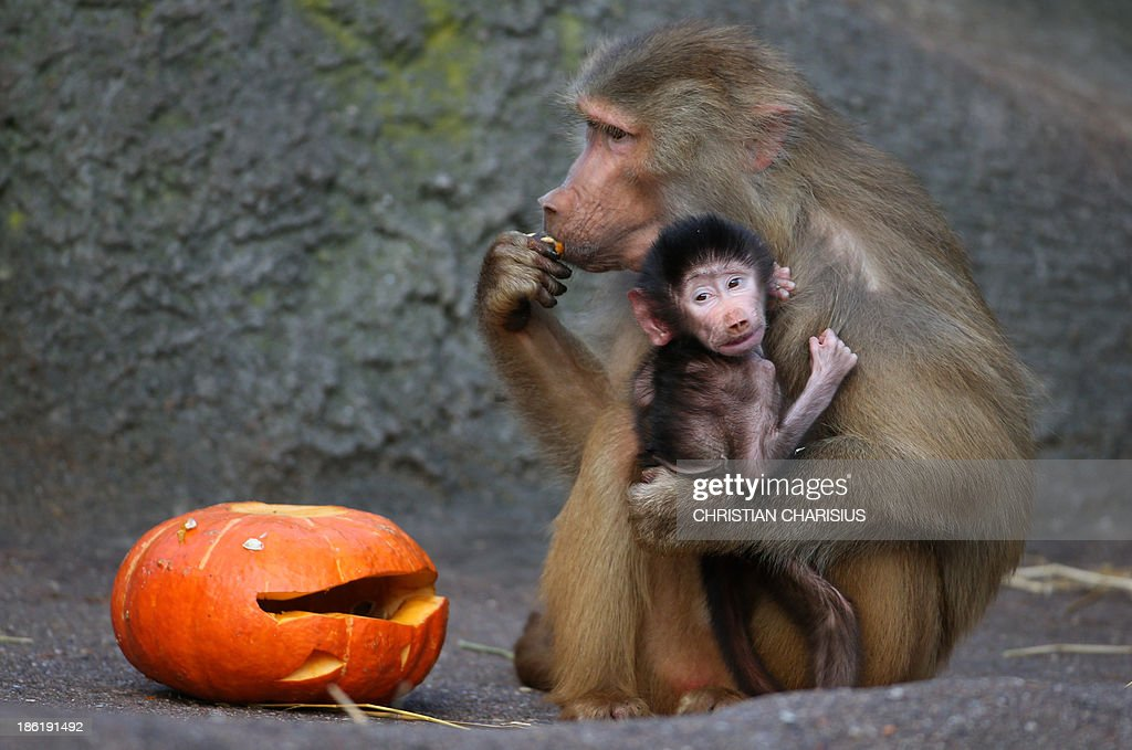 A baboon with a baby tastes a pumpkin in Halloween design on October 29, 2013 at the Hagenbeck zoo in Hamburg, northern Germany.