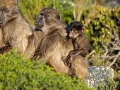 Baboon's family