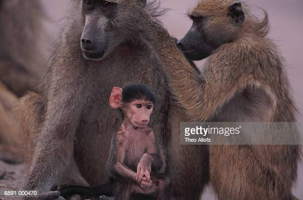 Baboons Grooming near Baby