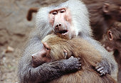 Baboons in zoo, Cologne, Germany
