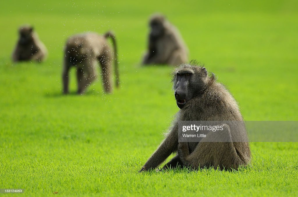 Baboons look on during the first round of the Alfred Dunhill Championships at Leopard Creek Golf Club on November 17, 2011 in Malelane, South Africa.