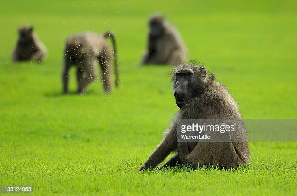 Baboons look on during the first round of the Alfred Dunhill Championships at Leopard Creek Golf Club on November 17 2011 in Malelane South Africa