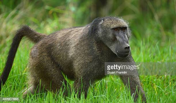 Baboons wander around the course during the continuation of the weather delayed first round of the Nedbank Golf Challenge at Gary Player CC on...