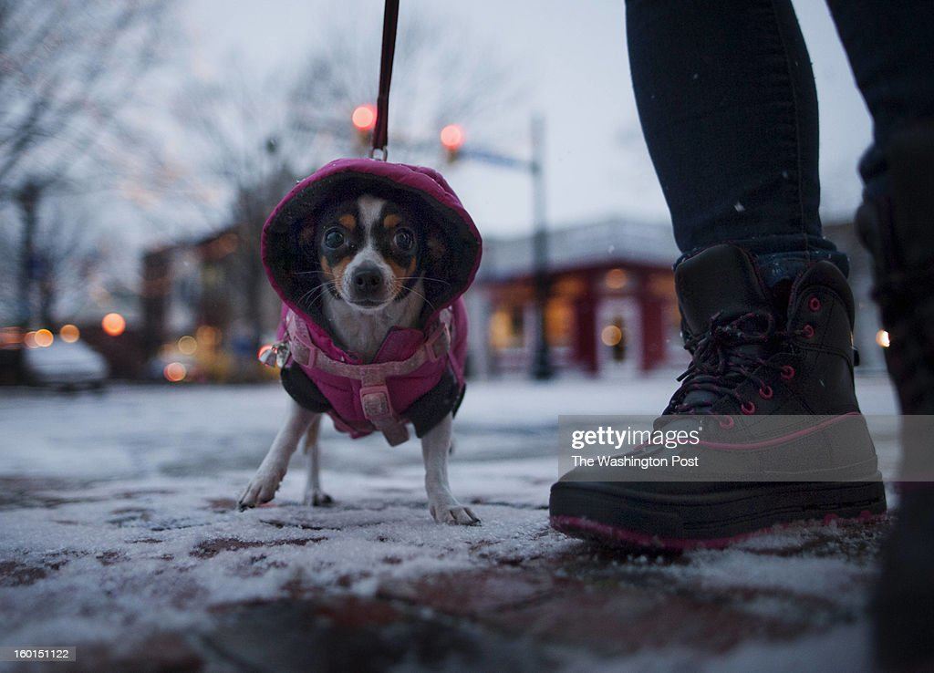 Baby a -year-old Chihuahua walks home with her owner Catalina Miranda on the cold, icy streets of Alexandria, VA on Friday, January 25, 2013.