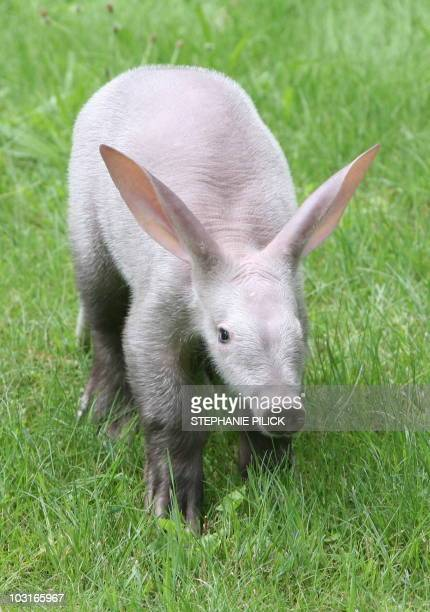 A baby aardvark walks through its enclosure on July 30 2010 at the zoo in Berlin The animal born in May 2010 at the zoo was injured by its mother so...