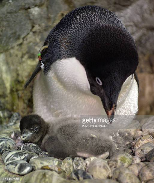 A baby Adelie penguin who was born on July 10 and a mother share a moment at the Osaka Aquarium Kaiyukan on July 26 2013 Visitors can see the 680...
