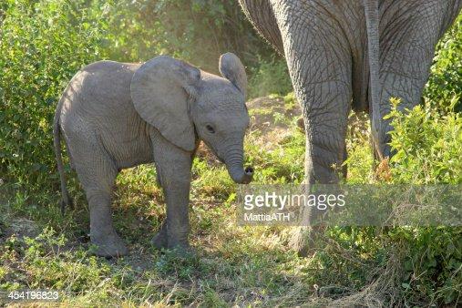 Bebê Elefante africano : Foto de stock