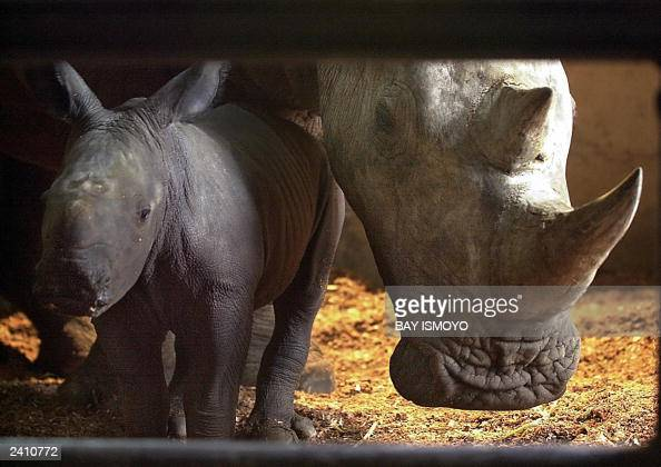 A baby African white rhino nicknamed 'Merdeka' stands next to his mother Hima at the zoo in Bogor in West Java 19 August 2003 The 50kg Merdeka was...