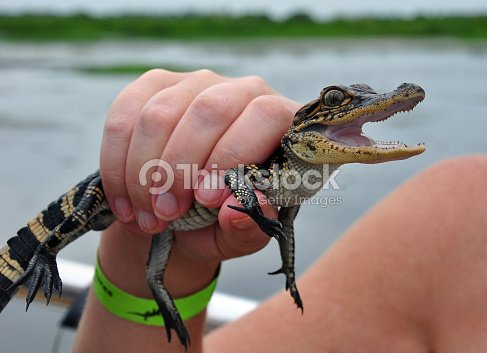 Baby Alligator Being Held In Hand Stock Photo | Thinkstock