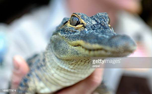 baby alligator held by zoo keeper