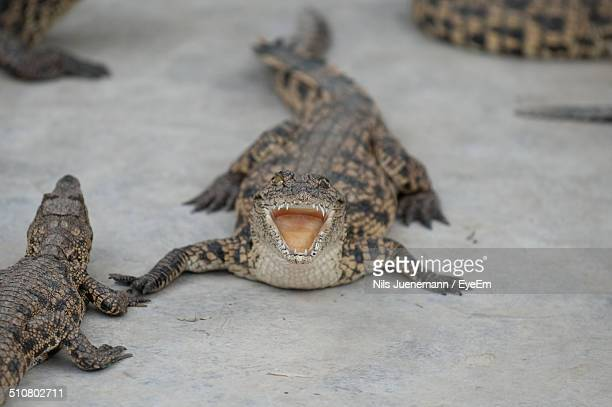 Baby alligator with open mouth