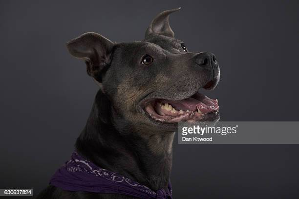 Baby an eightyearold Staffordshire Bull Terrier who is looking for a new home sits for a portrait at Battersea Dogs and Cat's Home on December 28...